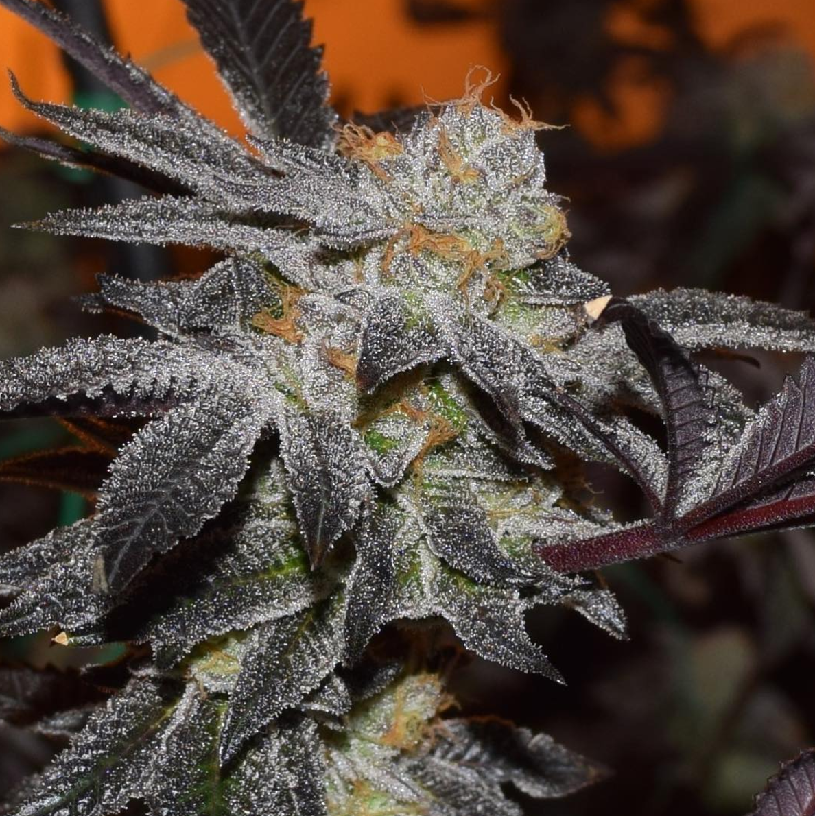 Ten Four Farms' Platinum Girl Scout Cookies Strain Review
